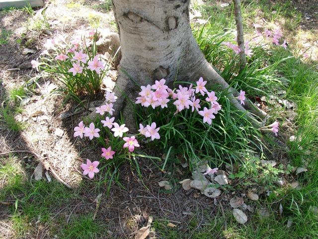 pink crocos
