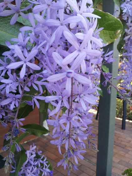 purple sandpaper vine