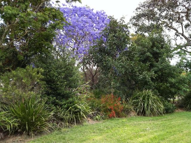 purple jacaranda 3