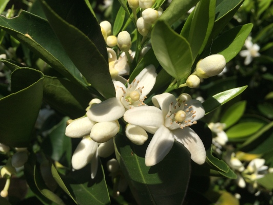 Ahh, the fragrant orange blossoms!