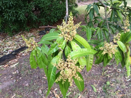 flowers which should become mangoes