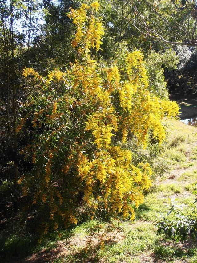 yellow zig-zag wattle