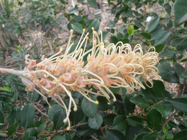 pale yellow with pink grevillea