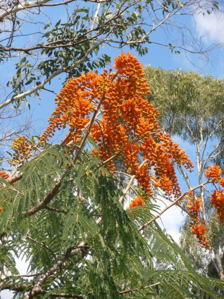 orange poinciana