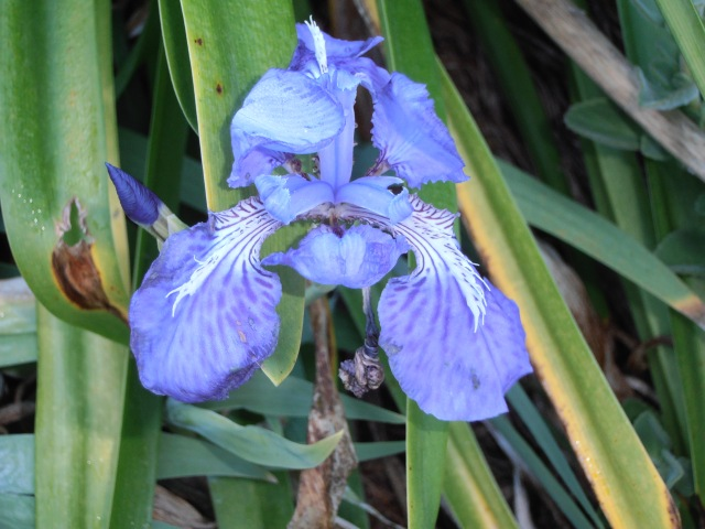 purple-blue iris