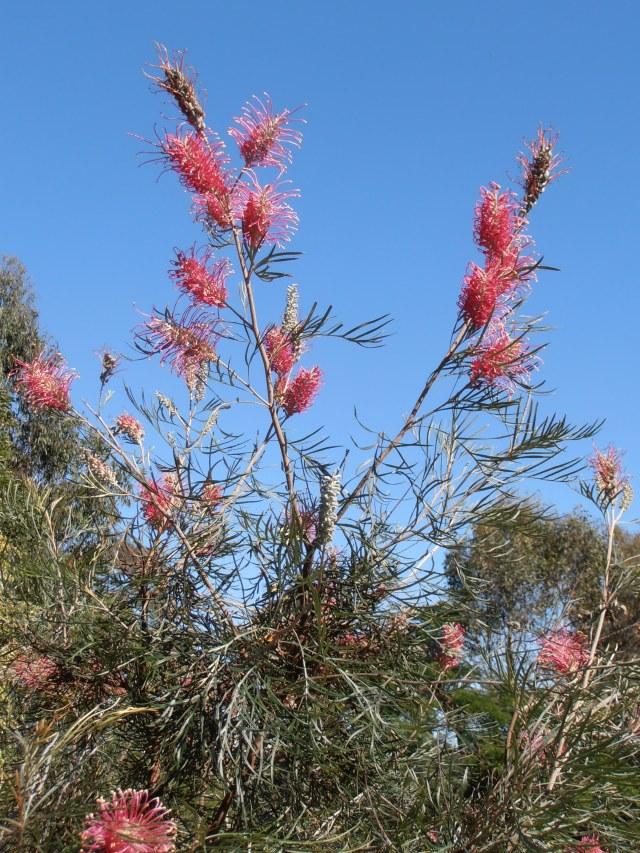 scarlet robyn gordon grevillea