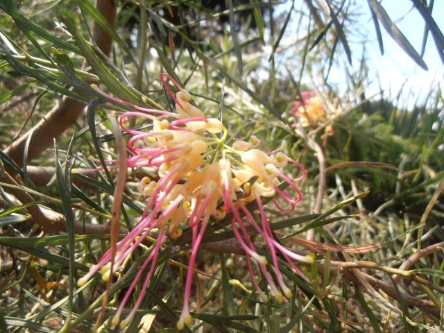 yellow and pink grevillea