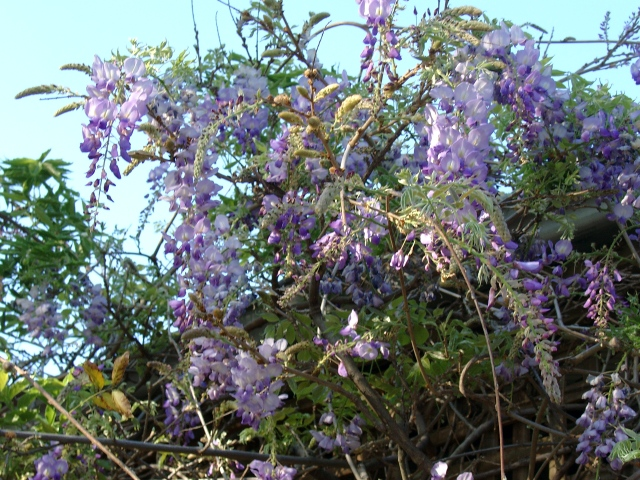 purple-blue wisteria