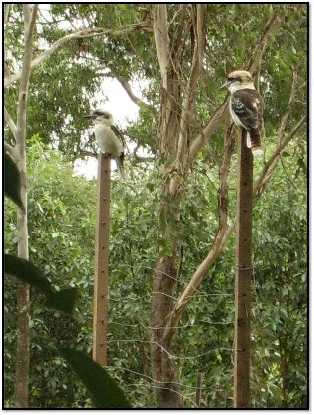 kookaburras visiting garden