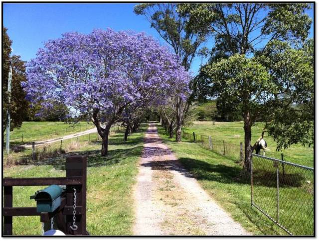 purple jacaranda