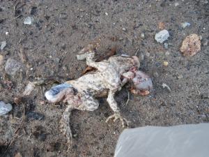 toad kill