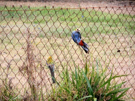 2 pale-headed rosellas enjoying blue dianella berries