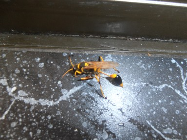 mud-dauber wasp indoors