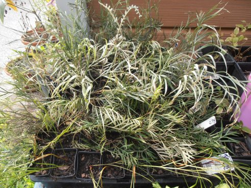 a tray of grevillea cuttings