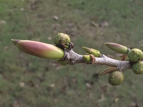laden with figs and leaves are ready to burst open