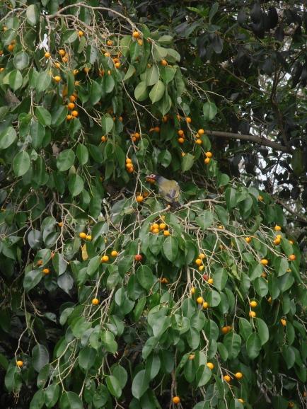 plump figs