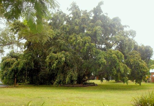 the Ficus benjamina var. comosa in all its glory