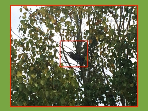 outline of cuckoo in fig tree