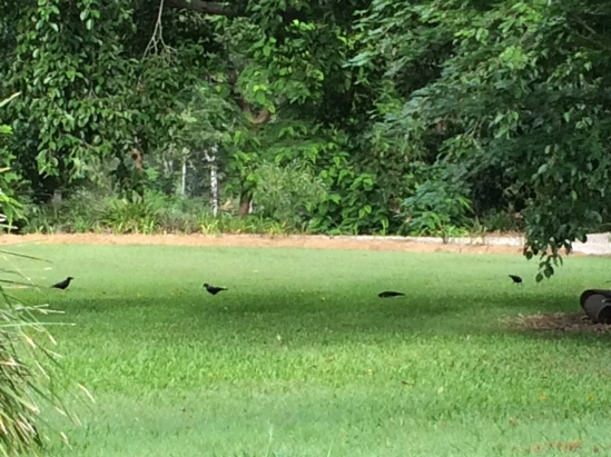 crows pecking the lawn grubs and moths