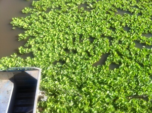 looking over the side of the ferry at the water lettuce