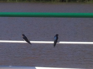 Welcome Swallows surveying their playground