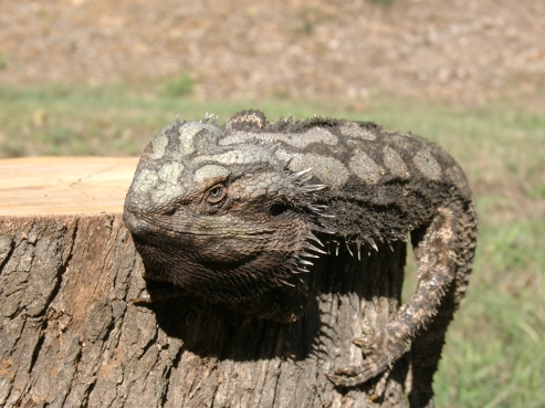 Eastern Bearded Dragon or Common Bearded Dragon