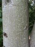 Lacebark trunk